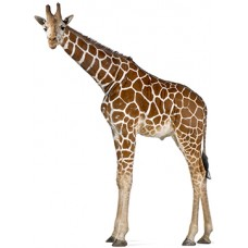 Reticulated Giraffe Cardboard Cutout